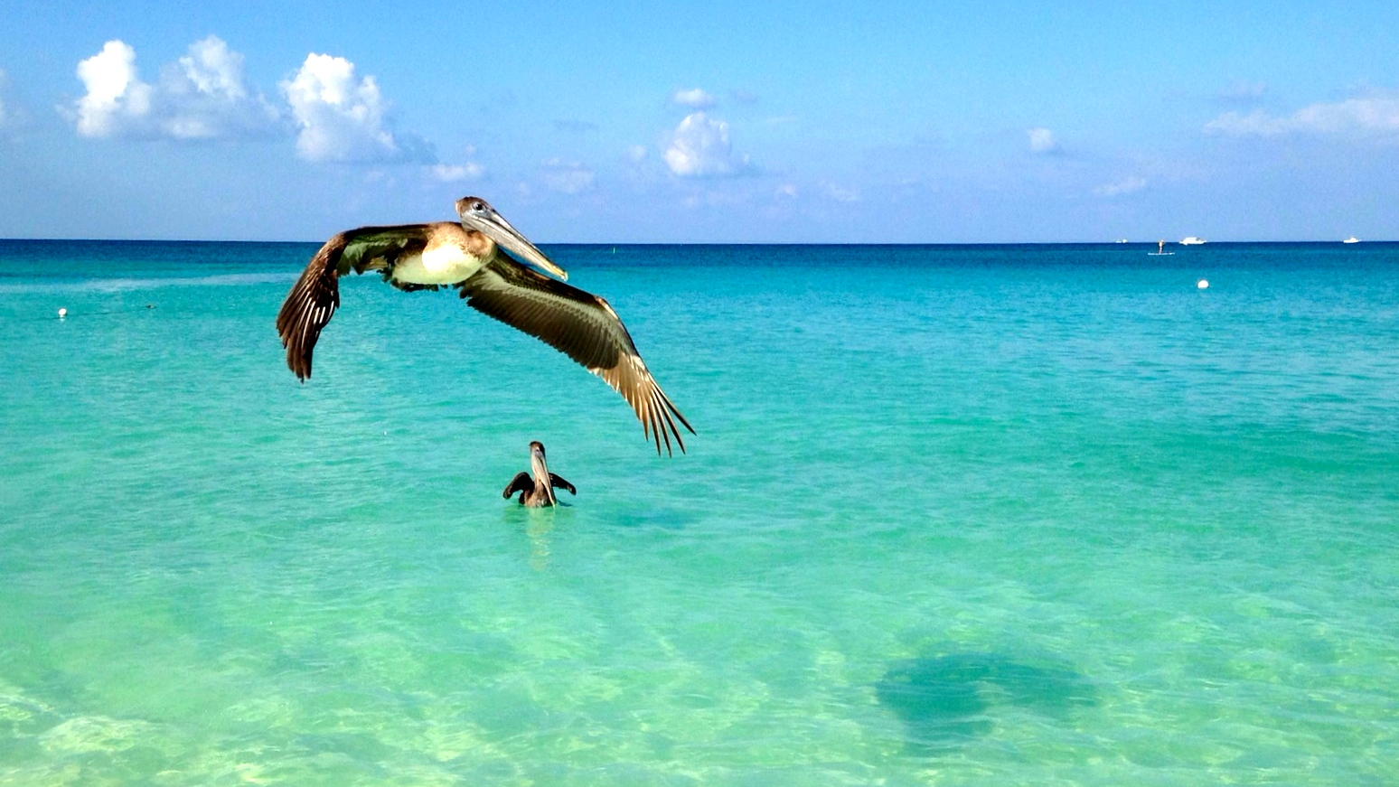 Pelican fishing.