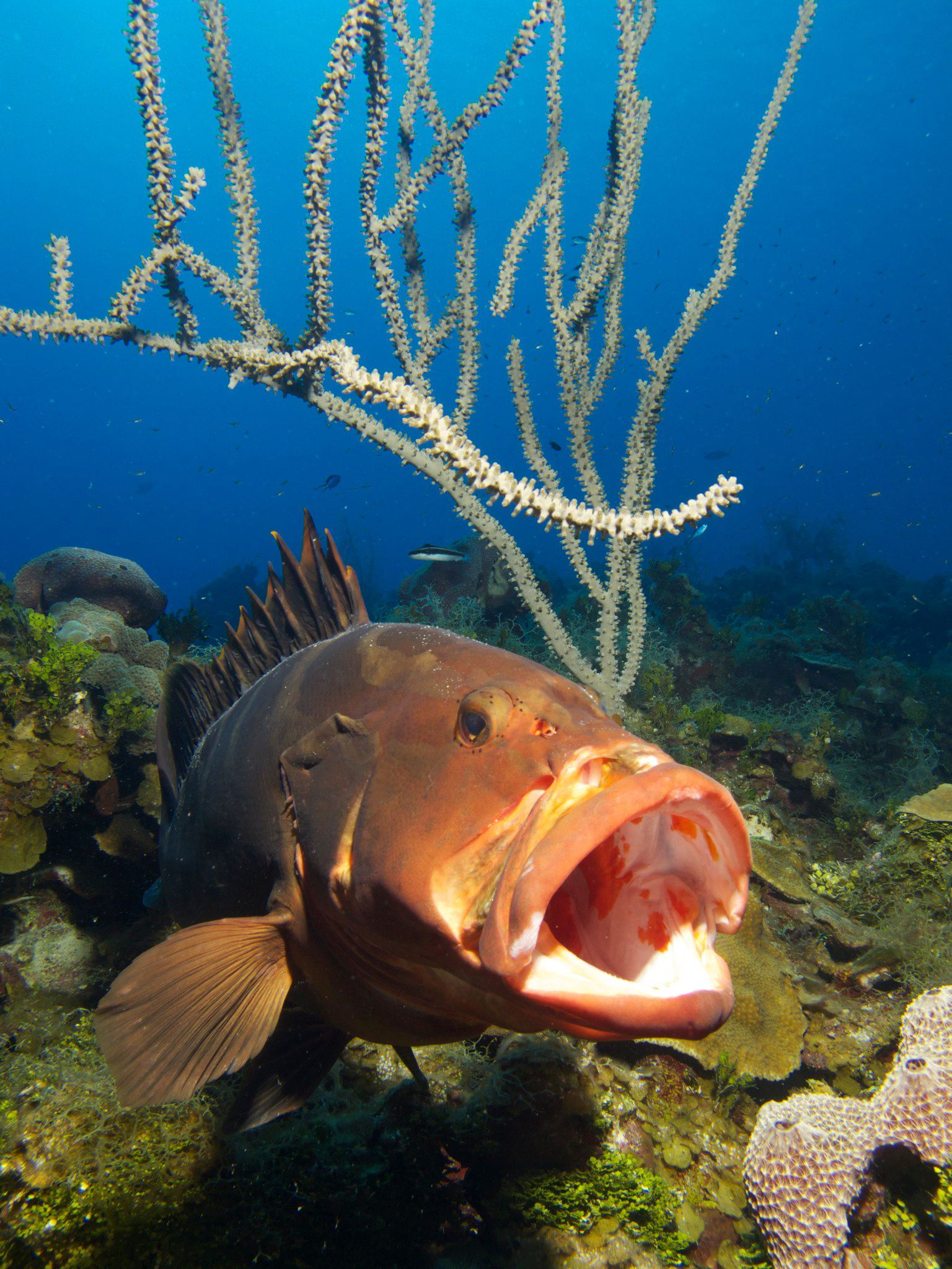 Cayman Grouper