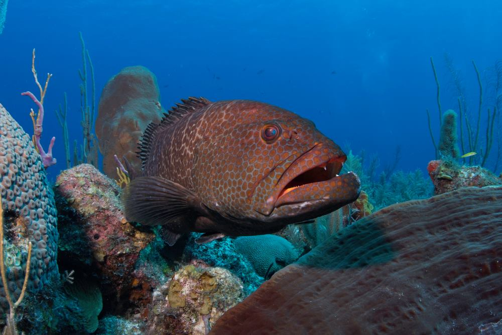 Giant Grouper