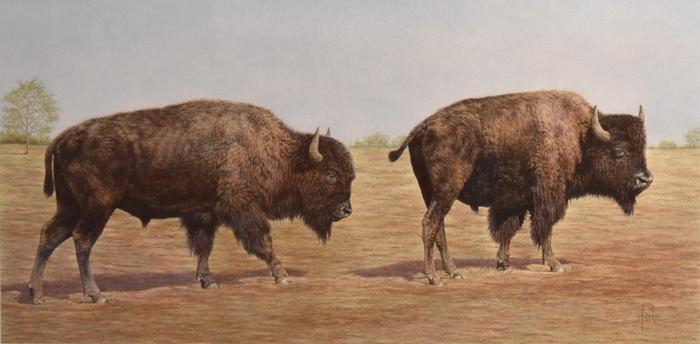 """Buffalo Stroll"""