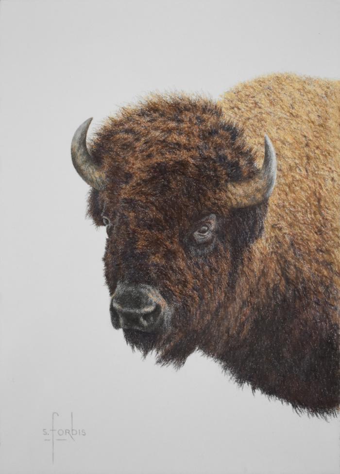"""""""Plains Boss""""  Buffalo Bison"""