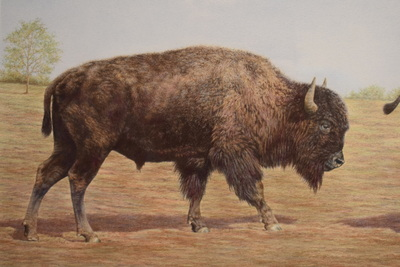 Buffalopair1