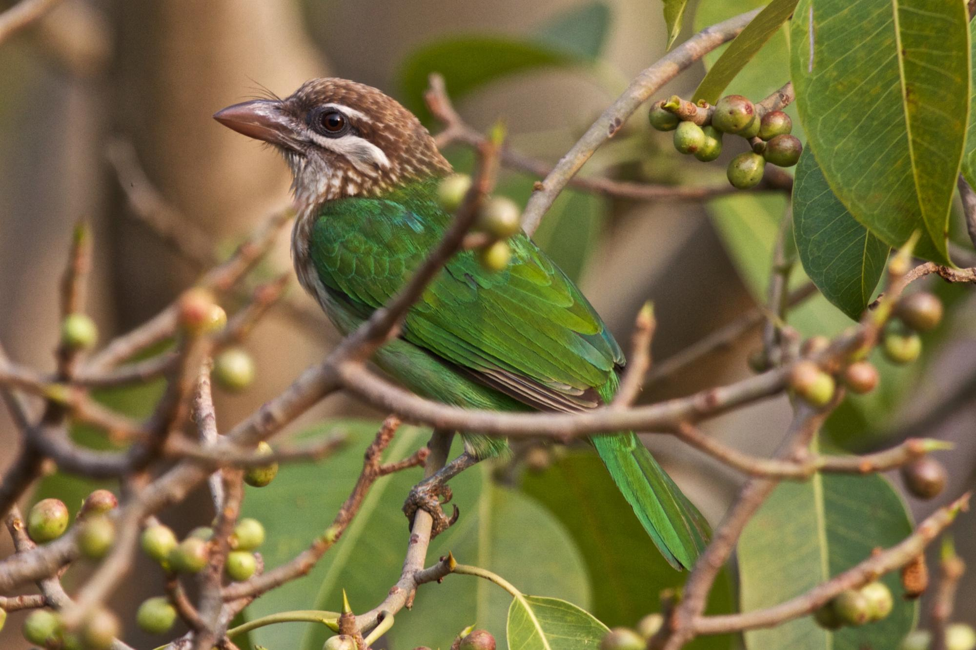 White Cheeked Barbet 2