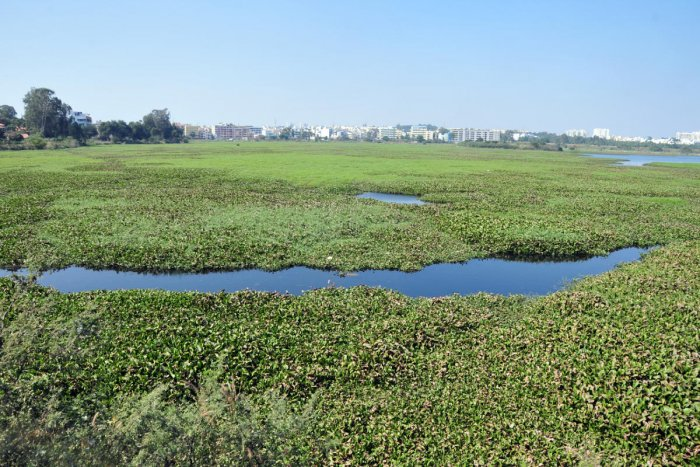 The Devil is in the Detail: How Weeding and Cattle Grazing Almost Cost Us Doddanekkundi Lake 2