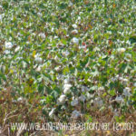 Cotton Days are Here