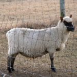 A Pregnant Pause…Gearing Up for Lambing Season