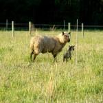 The Undrama Lamb Drama