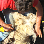 Sheep Shearing Time!