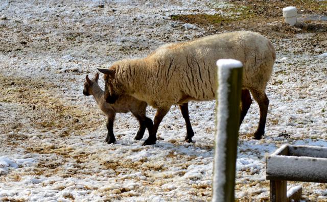 lambs b