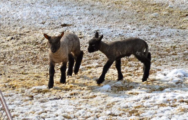 lambs c
