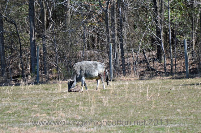 New Zebu Calf @ Walking in High Cotton