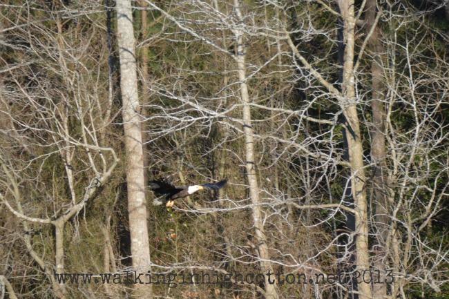 bald eagle 7