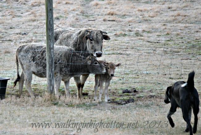 dog and calf 3