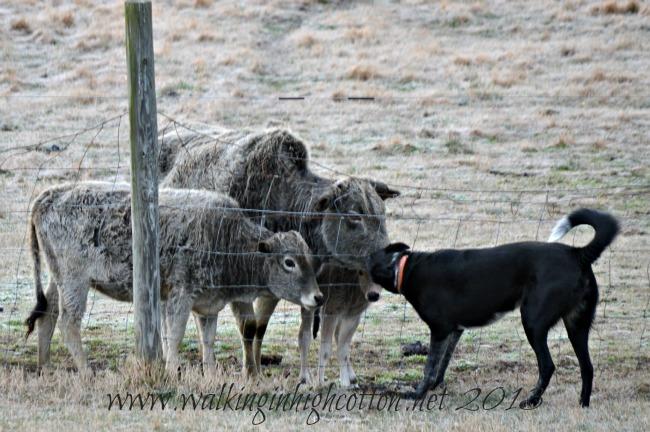 dog and calf 4