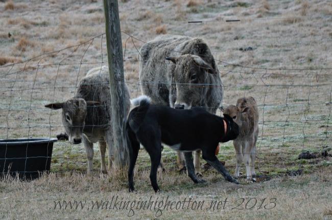 dog and calf 2
