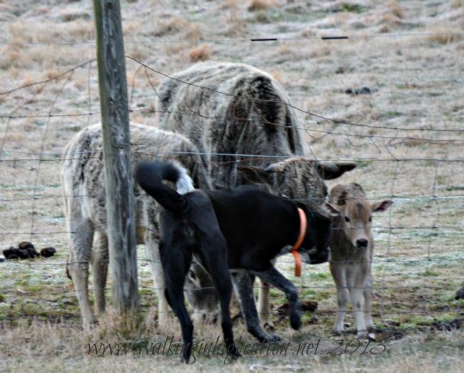 dog and calf 1