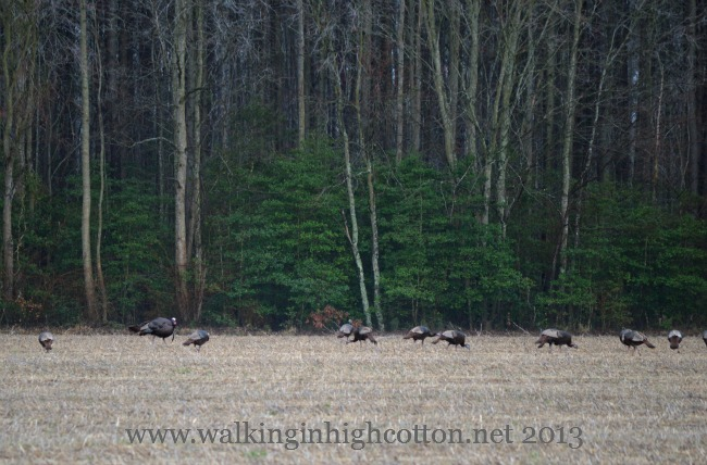 wild turkeys 3