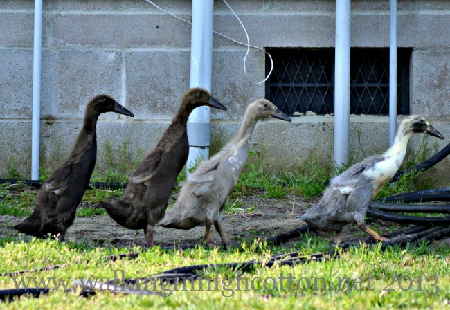 """Our """"baby"""" runner ducks are growing up!"""
