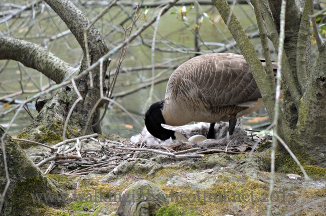 Mother Goose was turning her eggs as we walked by.