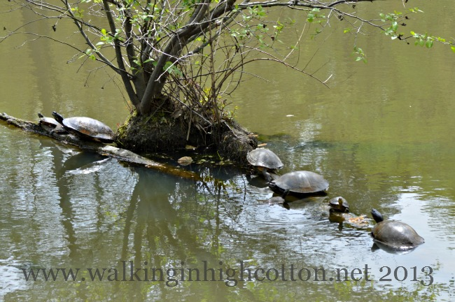 We saw lots (and LOTS) of turtles basking in the sun.