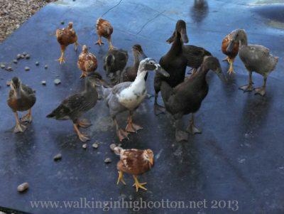 Ducks on the Loose @ The Lowe Farm, Tidewater Virginia
