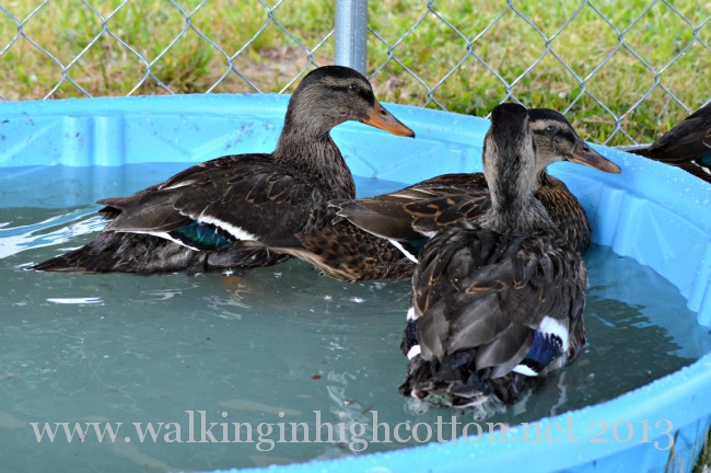 Now that they've grown up some, I'm pretty sure the Rouens are all females. Still not sure about the runner ducks...