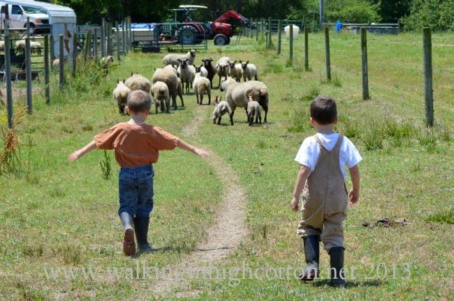 We moved the sheep through the field, down one alley, up the other alley, and around the corner into a different field.
