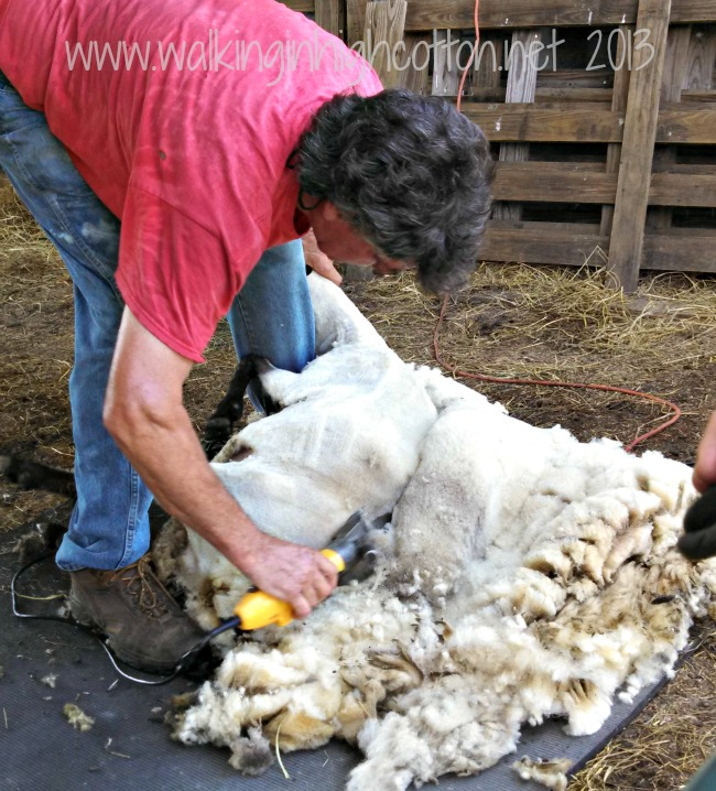 Those long back cuts are what helps the fleece hold together in generally one large piece when you're done shearing.