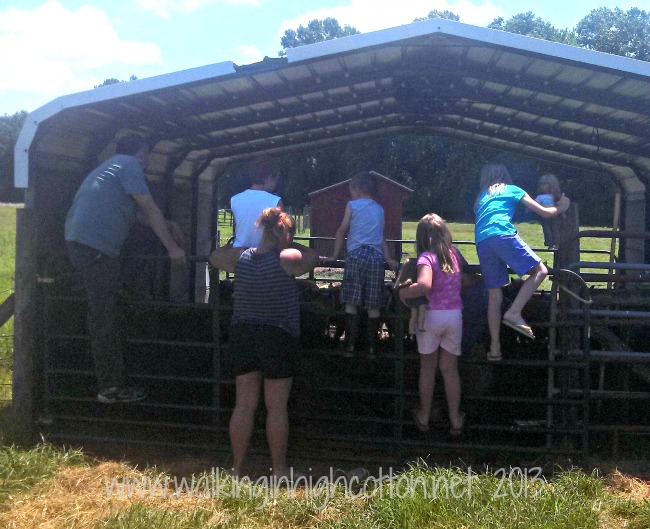Shearing time is a hot, sweaty part of farming--but it's also a lot of fun!