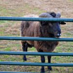 Hayrides, Peacocks, and Sneezing Sheep…Daily Adventures on the Farm