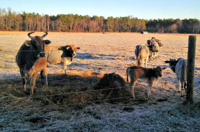 winter cows