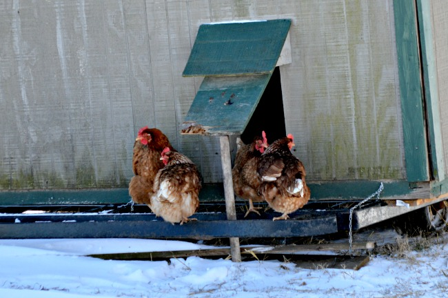 The chickens were definitely not so crazy about it. We hardly saw them all week!