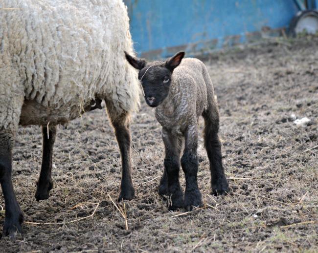 new lamb 3