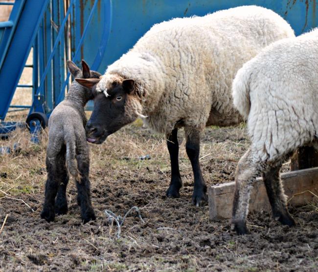 new lamb 5