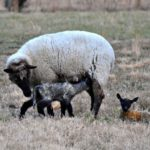 Lambs, Lambs, Lambs…the Daily Farm Adventures {38}