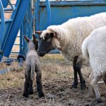 Lamb Watch 2014 is On…the Daily Farm Adventures