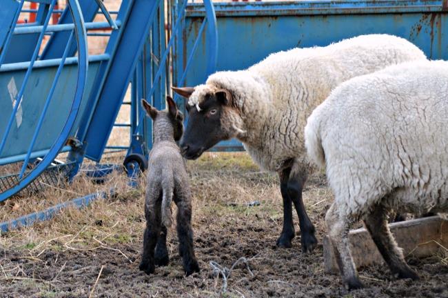 new lamb 6