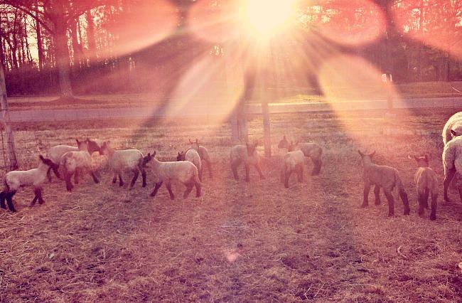 sunshine lambs
