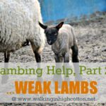 Lambing Help, Part 2…Common Problems {Weak Lambs}