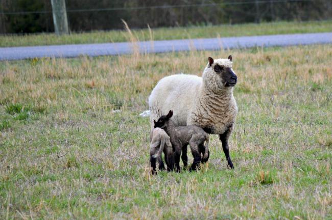 spring lambs b