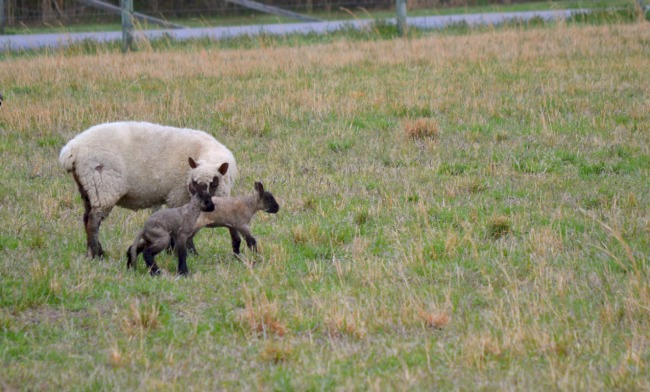spring lambs c