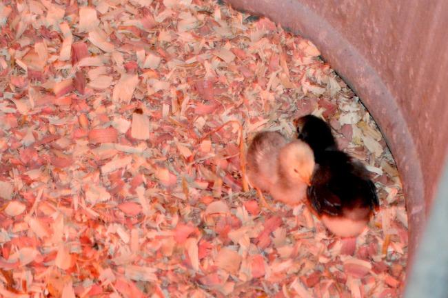 spring chicks 3