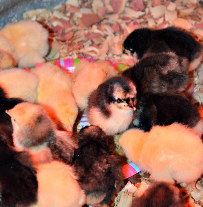 spring chicks 5