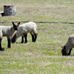 The Lamb Nanny…the Daily Farm Adventures {43}