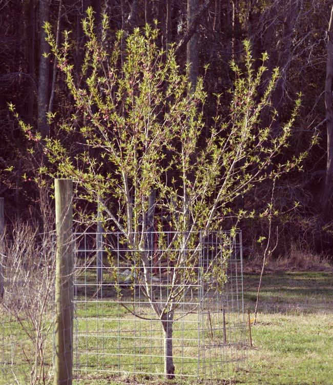 Spring peach tree.