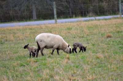 late spring lambs at The Lowe Farm {Lambing Season ends with a Bang! via www.walkinginhighcotton.net} #sheep #lambing #homesteading #farmadventures