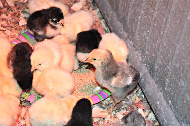 spring chicks 4