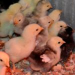 From Fluff to Feathers…the Daily Farm Adventures {49}