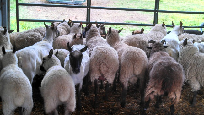 You can see the difference here between sheared, and unsheared. Those two tails front left are also lambs, so you can see how much they've grown!