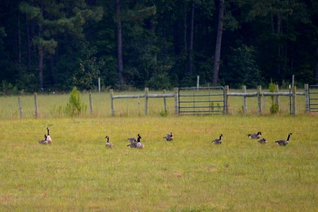 geese in the farmyard 2